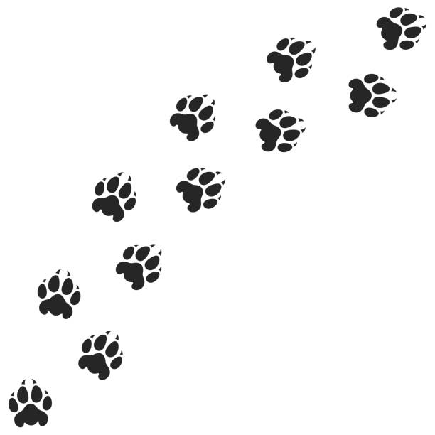 Tiger paw print. Silhouette Vector illustration (EPS) tiger stock illustrations