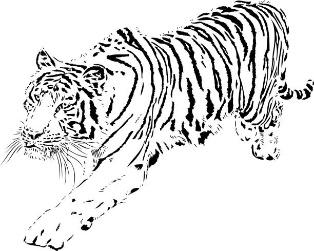 Best Leaping Tiger Illustrations, Royalty-Free Vector