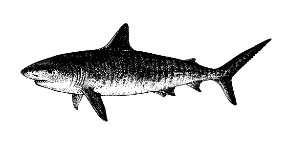 Tiger Shark, Galeocerdo cuvier. Fish collection