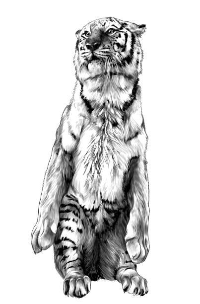 tiger stands tall on its hind legs – artystyczna grafika wektorowa