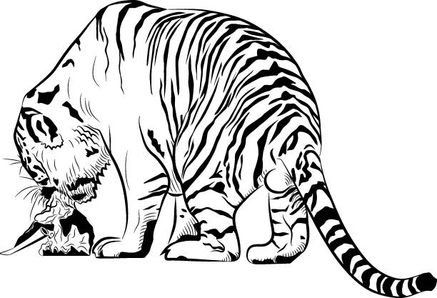 Royalty Free Tiger Eating Meat Clip Art, Vector Images ...