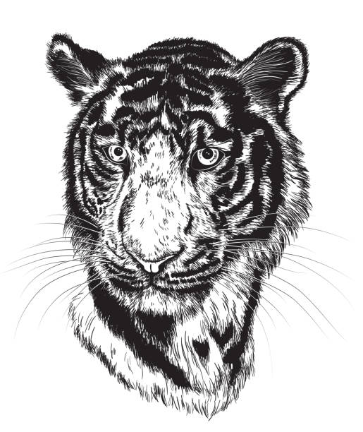 Tiger Sketch Free Vector Art 51 Free Downloads