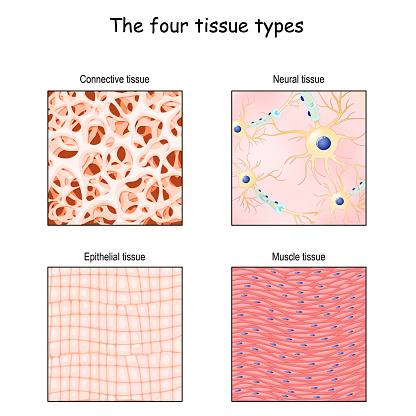 Tissue types. connective, muscle, nervous, and epithelial cells