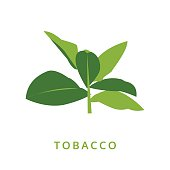 tobacco leaves, green plant vector illustration, isolated