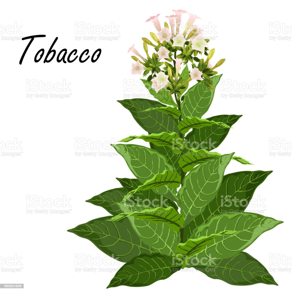 plante de tabac avec feuilles et fleurs illustration vectorielle