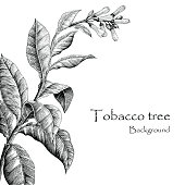 Tobacco tree hand drawing vintage style,Tobacco tree background