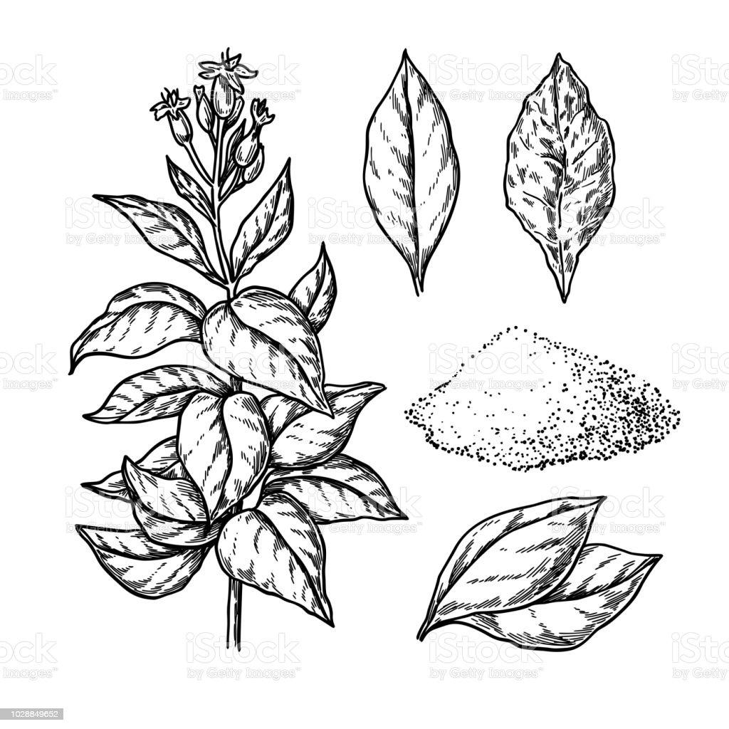Dessin De Vectoriel Du Tabac Plante A Fleurs Fraiches Et Feuilles