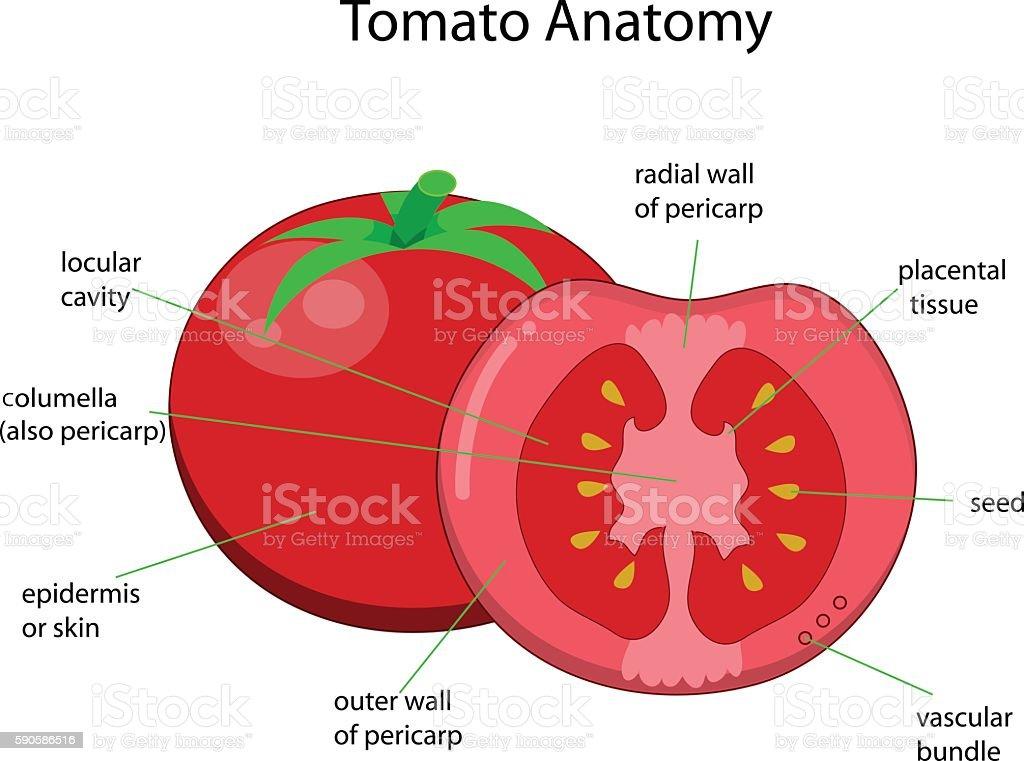 Diagram Of Inside Tomato - DIY Enthusiasts Wiring Diagrams •