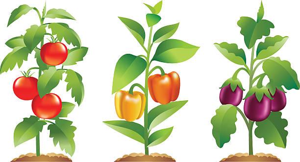 トマト、ピーマン、Brinjal 植物 ベクターアートイラスト