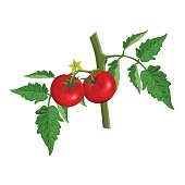 Tomato branch with tomatoes