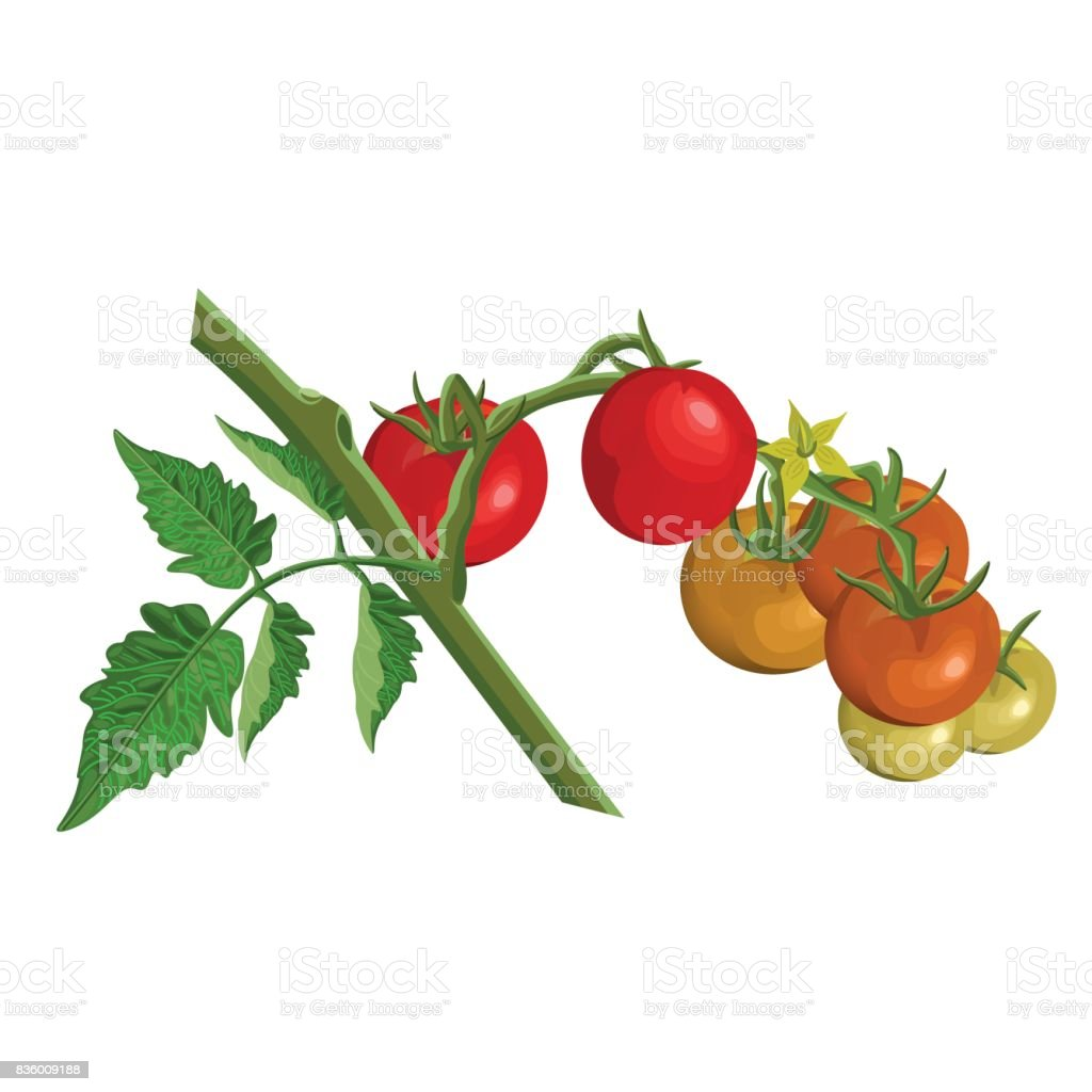 Tomato Branch With Tomatoes Stock Illustration - Download