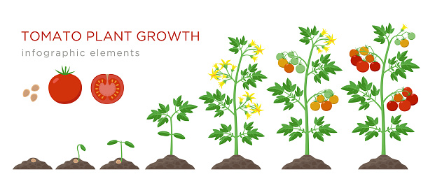 Tomato plant growth stages infographic elements in flat design. Planting process of tomato from seeds sprout to ripe vegetableisolated on white background, vector illustration