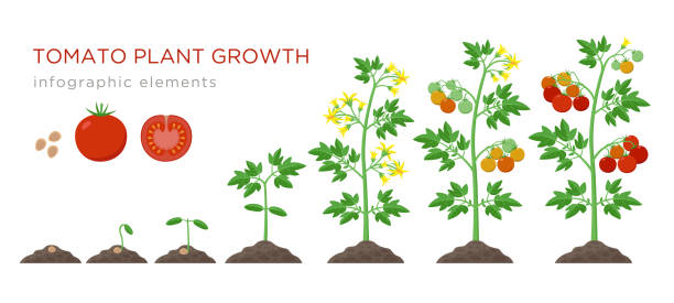 Tomato plant growth stages infographic elements in flat design. Planting process of tomato from seeds sprout to ripe vegetableisolated on white background, vector illustration Tomato plant growth stages infographic elements in flat design. Planting process of tomato from seeds sprout to ripe vegetable, plant life cycle isolated on white background, stock vector illustration crop plant stock illustrations