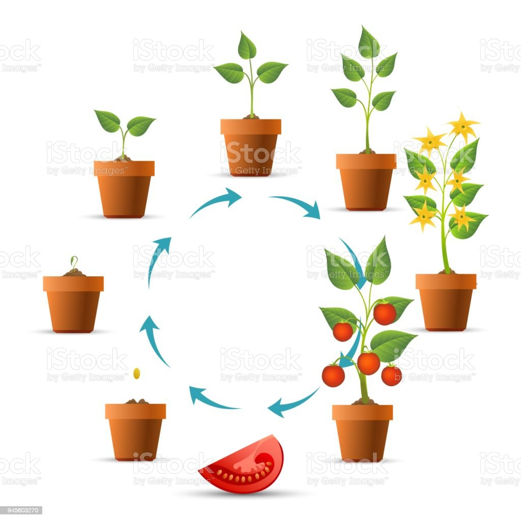 Tomato Plant Growth Stages Stock Vector Art & More Images of ...