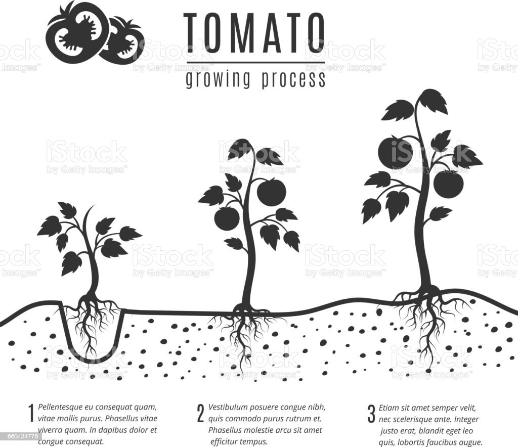 Tomato Plant With Roots Vector Growing Stages Stock Vector Art ...