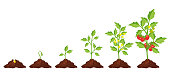 Tomato stage growth. Life cycle of a tomato plant, leaf, flower and fruiting stages. Vector flat style cartoon illustration isolated on white background