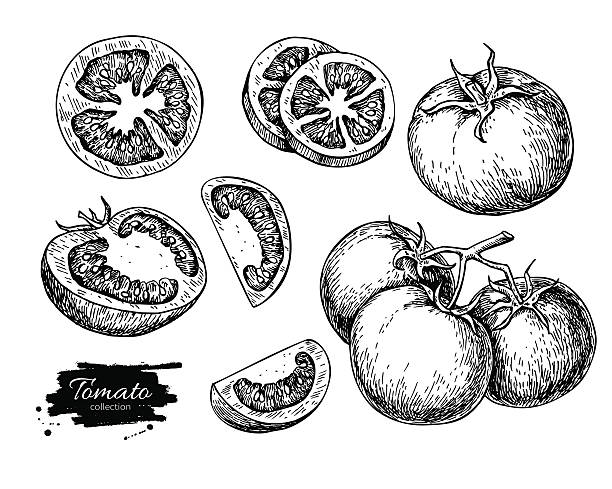 Tomato vector drawing set. Isolated tomato, sliced piece vegetab Tomato vector drawing set. Isolated tomato, sliced piece vegetables on branch. Engraved style illustration. Detailed vegetarian food sketch. Farm market product. tomato stock illustrations