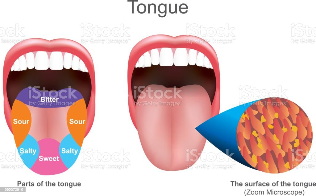 Tongue. Education info graphic. Vector design. vector art illustration