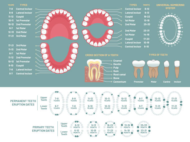 illustrazioni stock, clip art, cartoni animati e icone di tendenza di tooth anatomy chart. orthodontist human teeth loss diagram, dental scheme and orthodontics medical vector infographic - denti