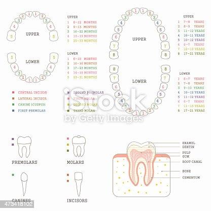 Zahn Anatomie Diagramm Stock Vektor Art und mehr Bilder von 2015 ...