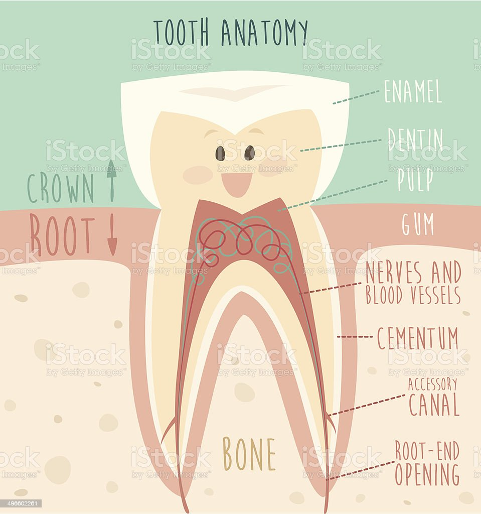 tooth anatomy, concept of healthy teeth, vector illustration, vector art illustration