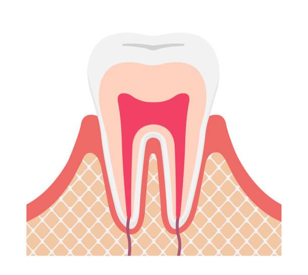 stockillustraties, clipart, cartoons en iconen met tand anatomie platte vector illustratie (geen tekst) - dentine