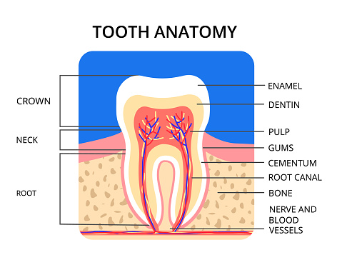 Tooth anatomy infographic. Perfect for medical poster or banner. Vector EPS10