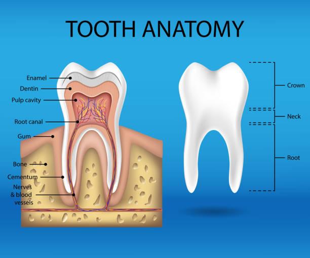 stockillustraties, clipart, cartoons en iconen met tand anatomie infographics. realistische witte tand mockup. tandheelkundige gezondheid concept. medische spandoek of poster vectorillustratie - dentine