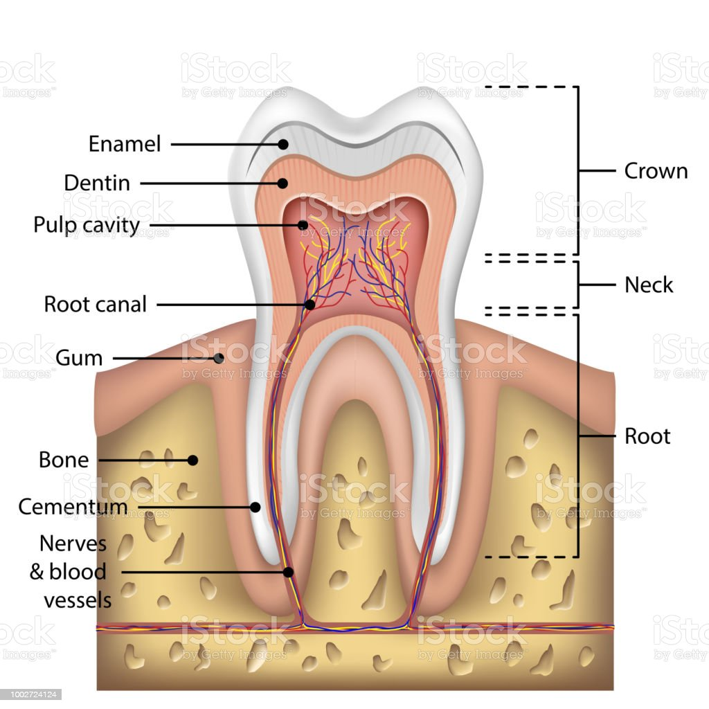 Tooth Anatomy Infographics Realistic White Tooth Mockup Oral Care