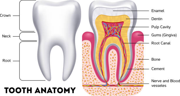illustrazioni stock, clip art, cartoni animati e icone di tendenza di tooth anatomy vector dental infographics - denti