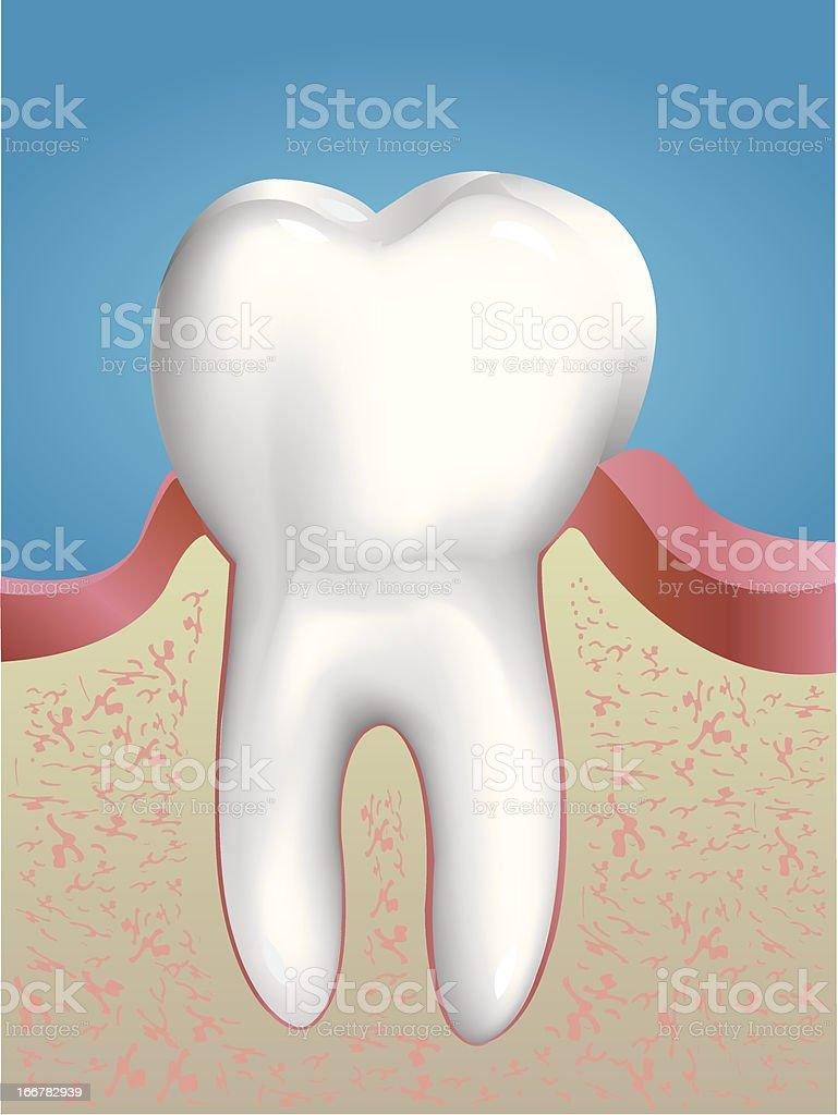 Tooth Anatomy royalty-free stock vector art