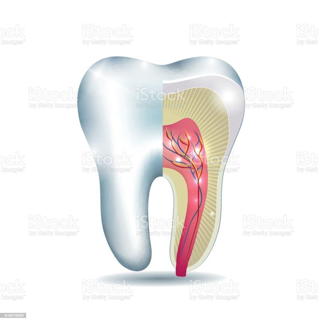 Zahn Anatomie Stock Vektor Art und mehr Bilder von Abstrakt ...