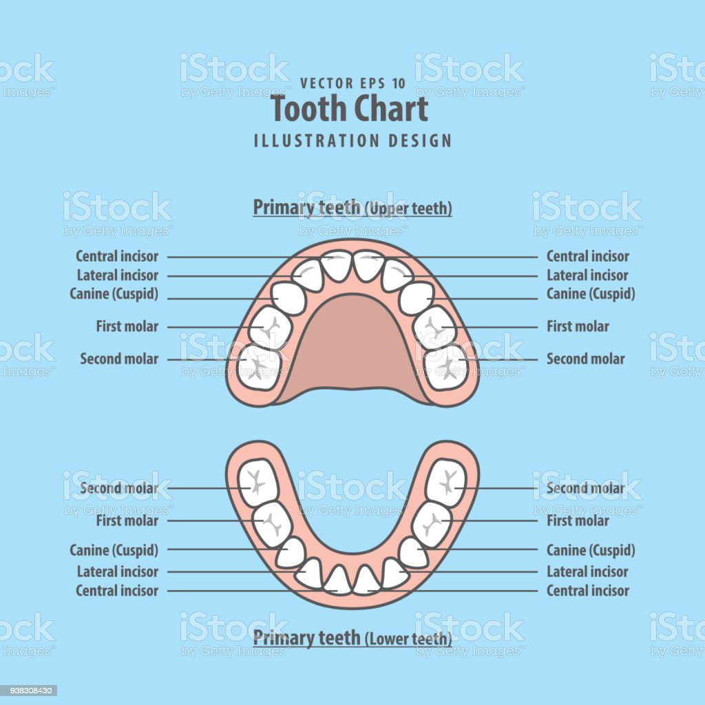 Tooth Chart Primary Teeth Illustration Vector On Blue Background ...