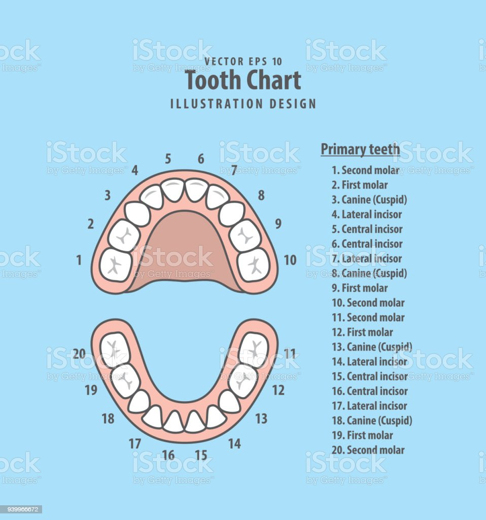 tooth chart primary teeth with number illustration vector on blue