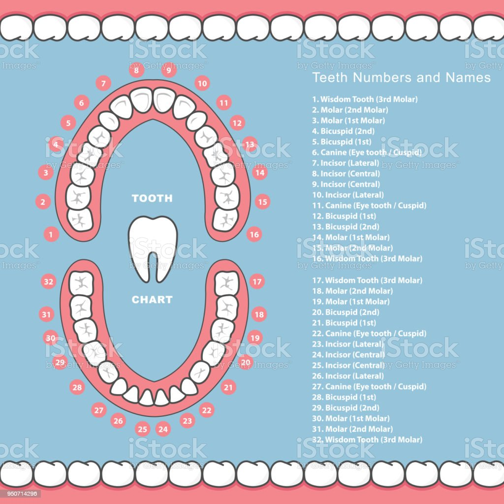 Tooth Chart With Names Dental Infographics Teeth In Jaw ...