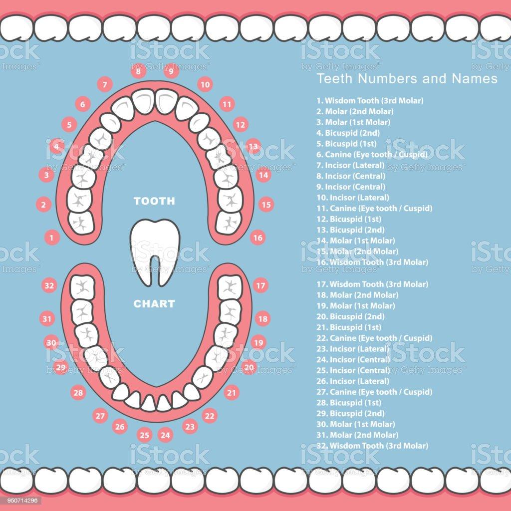 Zahndiagramm Mit Namen Dental Infografiken Zähne Im Kiefer Stock ...