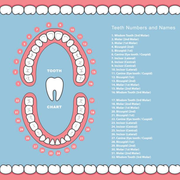 bildbanksillustrationer, clip art samt tecknat material och ikoner med tand diagram med namn - dental infographics, tänder i käken - molar