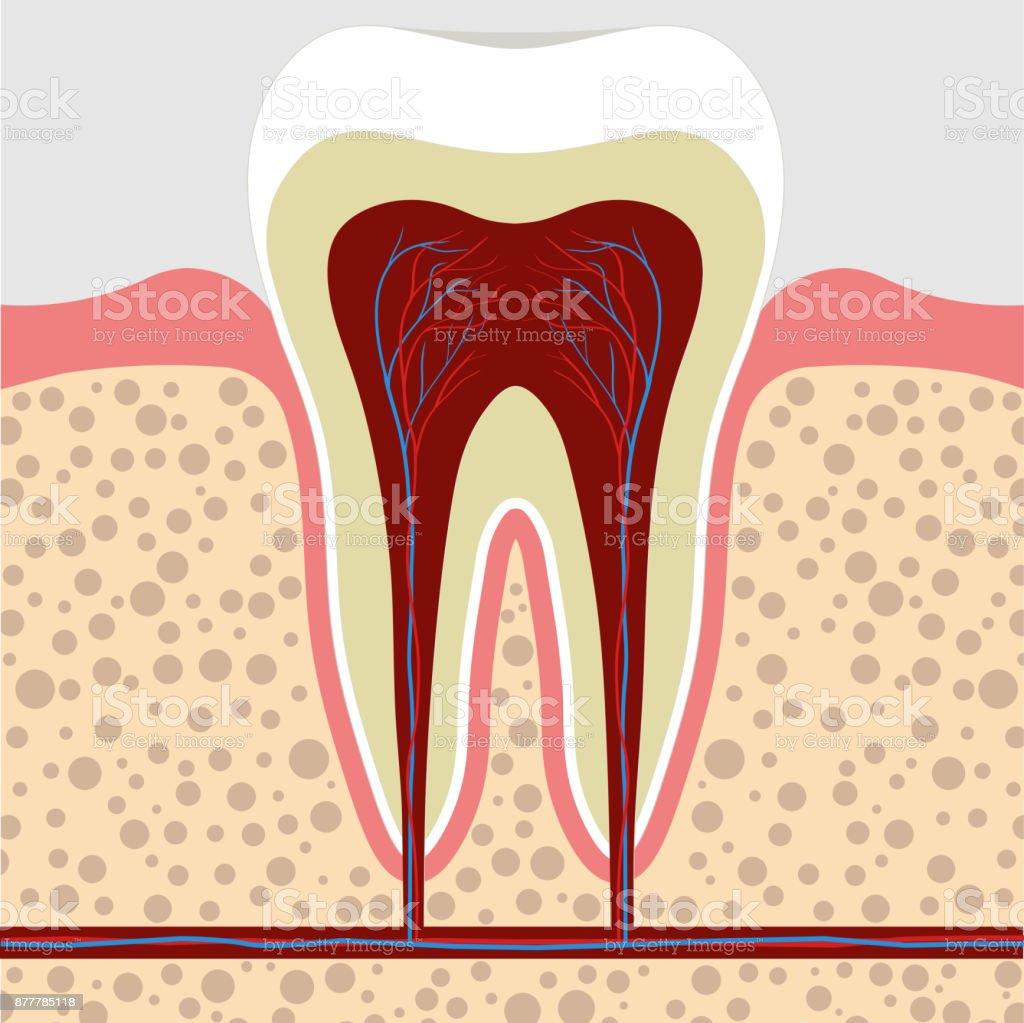 Zahn Zahnfleisch Im Querschnitt Zahnwurzelcana Stock Vektor Art und ...