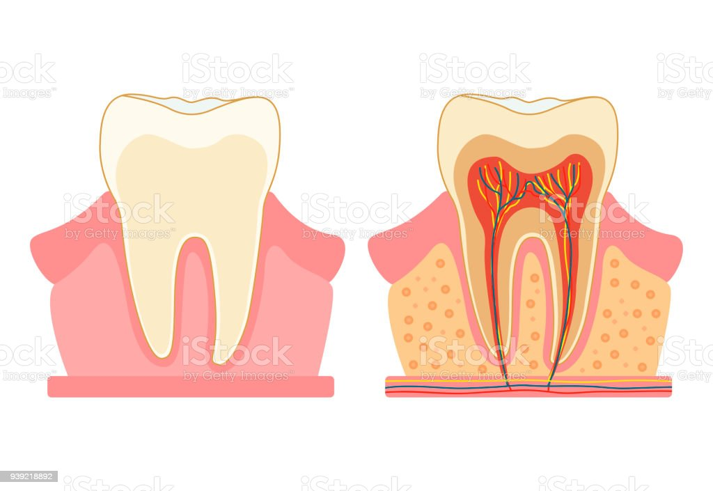 Royalty Free Tooth Pulp Clip Art  Vector Images