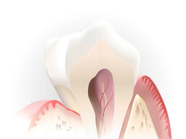 stockillustraties, clipart, cartoons en iconen met tooth section - dentine