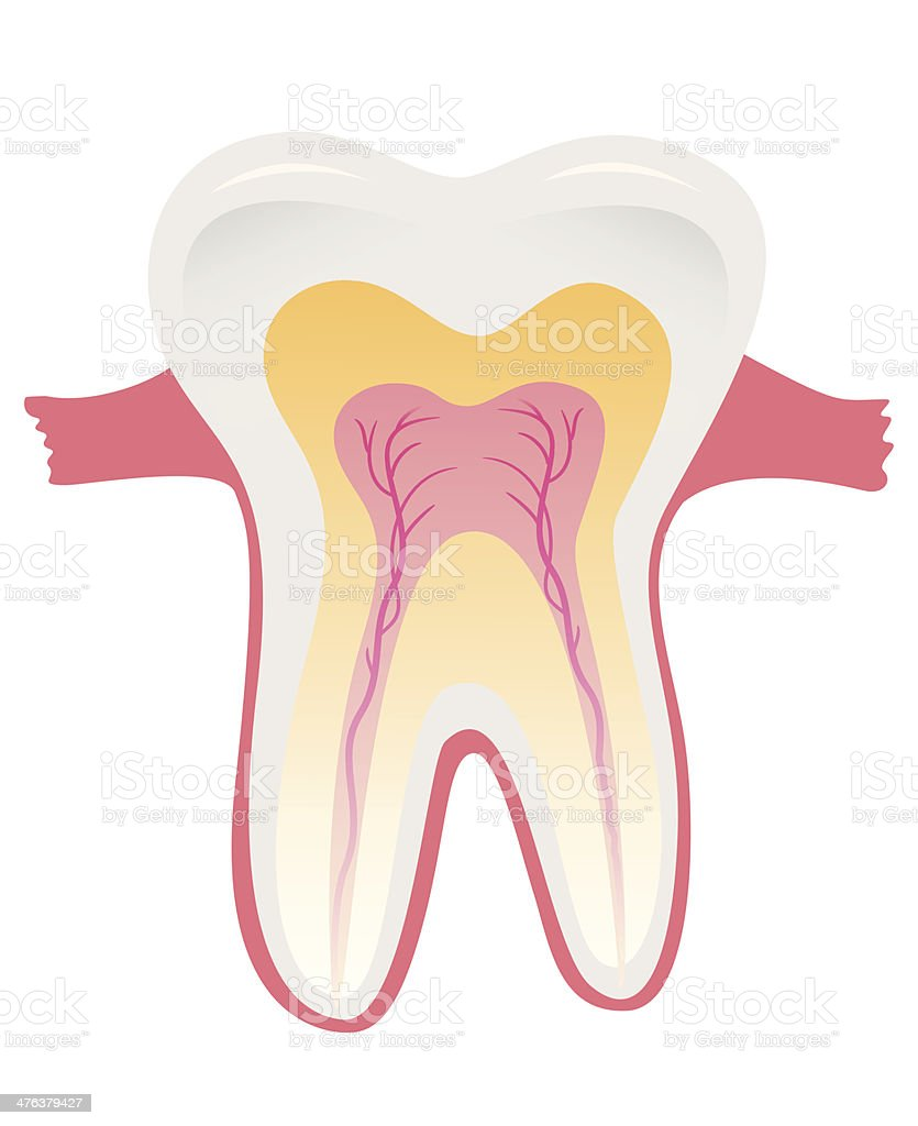 Tooth Structure Stock Vector Art More Images Of Anatomy 476379427