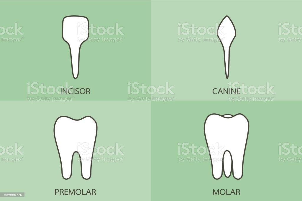 Zahn Art Schneidezahn Eckzahn Prämolaren Und Molaren Dental Cartoon ...