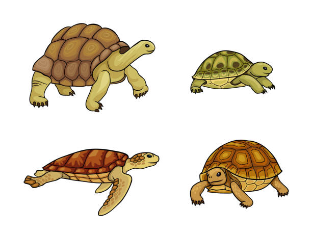 illustrazioni stock, clip art, cartoni animati e icone di tendenza di tortoise and turtle - vector illustration - tartaruga