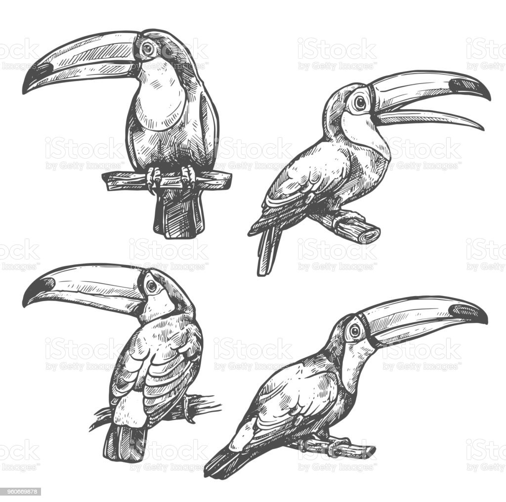 Toucan sketch set with tropical bird in different positions. American...