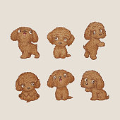 Toy-Poodle of various poses