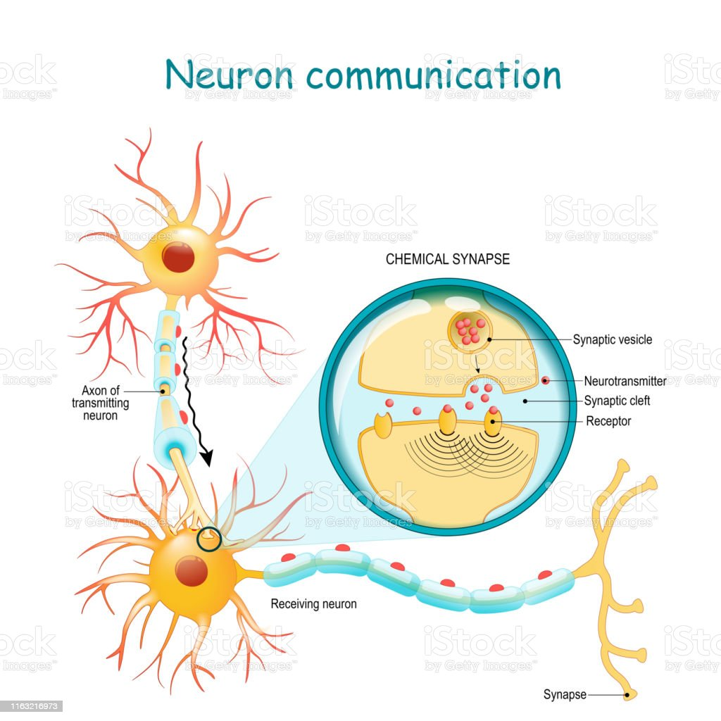 Transmission of the nerve signal between two neurons with axon and synapse. Close-up of a chemical synapse Neural communication. Transmission of the nerve signal between two neurons with axon and synapse. Close-up of a chemical synapse. vector diagram for education, medical, science use Anatomy stock vector