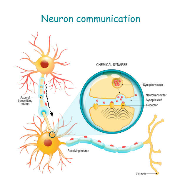 Transmission of the nerve signal between two neurons with axon and synapse. Close-up of a chemical synapse Neural communication. Transmission of the nerve signal between two neurons with axon and synapse. Close-up of a chemical synapse. vector diagram for education, medical, science use neurons stock illustrations