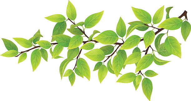 Tree branch with green leaves Tree branch with green leaves. Detailed vector plant, isolated on white background. branch plant part stock illustrations