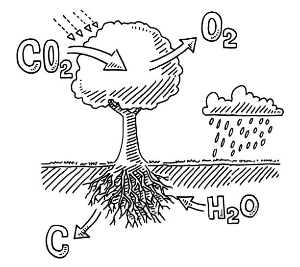 Tree Carbon Dioxide Absorption Infographic Drawing Hand-drawn vector drawing of a Tree Carbon Dioxide Absorption Infographic. Black-and-White sketch on a transparent background (.eps-file). Included files are EPS (v10) and Hi-Res JPG. environment stock illustrations