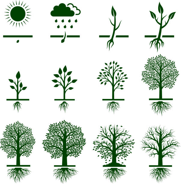Tree Growing growth life cycle royalty free vector icon set Tree Growing growth life cycle icon set root hair stock illustrations